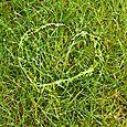 Coeur d'herbe